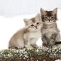 Tiffanie Kittens by John Daniels