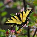 Tiger Swallowtail by Kathryn Meyer