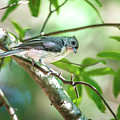 Tufted Titmouse In The Wilds Of South Carolina by Alex Grichenko