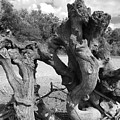 Twisted Driftwood by Scott D Van Osdol