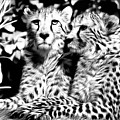 Two Cheetahs by Keith Furness