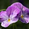 Viola Named Columbine by J McCombie