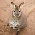 Wallaby Outside By Itself by Rob D