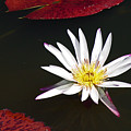 Water Lily by David Campbell