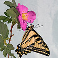 Western Tiger Swallowtail by Buddy Mays