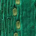 Wheat Leaf Stomata, Sem by Scimat
