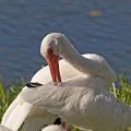 White Ibis by Allan  Hughes