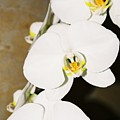 3 White Orchids by Lauri Novak