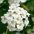 White Spiraea Flower by Alain De Maximy
