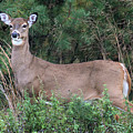 White Tailed Deer Calverton New York by Bob Savage