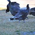 Wild Turkeys. by Oscar Williams