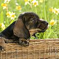 Wire-haired Dachshund Puppy by Jean-Louis Klein & Marie-Luce Hubert