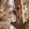 Woodpecker by John Ohm