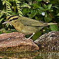 Worm-eating Warbler by Anthony Mercieca