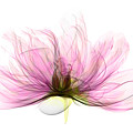 X-ray Of Peony Flower by Ted Kinsman