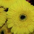 Yellow Gerbers by Elvira Ladocki