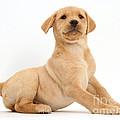 Yellow Labrador Retriever Puppy by Mark Taylor