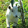 Young Goat On A Farm by Robert Hamm