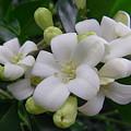 Australia - Gardenia White Flowers by Jeffrey Shaw