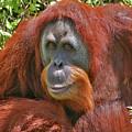 31- Orangutan by Joseph Keane