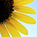 Sunflowers by LS Photography
