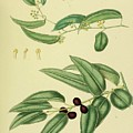 Vintage Botanical Illustration by Alexandr Testudo