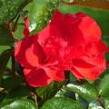 La Vie En Rose  by Paul Stanner
