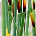 Bamboo Grass by Werner Lehmann