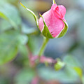 Roses by LS Photography