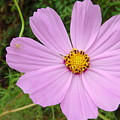 Australia - Mauve Flowers by Jeffrey Shaw