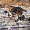 Duck And Goose Hunting Stock Photo Image by Chip Laughton
