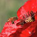 Honeybee by Gary Wing