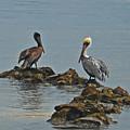 37-  Pelicans by Joseph Keane