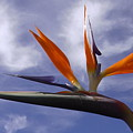 Australia - Bird Of Paradise On Blue by Jeffrey Shaw