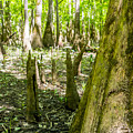 cypress forest and swamp of Congaree National Park in South Caro by Alex Grichenko