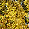 Fall Leaves by Robert Ullmann