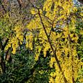 Fall Trees by Robert Ullmann