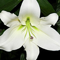 White Lily by Elvira Ladocki