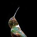 3990 - Ruby-throated Hummingbird by Travis Truelove