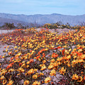 3a6919 Cape Marigold Anza Borrego State Park Ca by Ed Cooper Photography