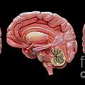 3d Rendering Of Human Brain by Stocktrek Images