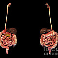 3d Rendering Of Human Digestive System by Stocktrek Images