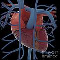 3d Rendering Of Human Heart by Stocktrek Images