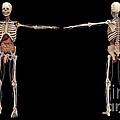 3d Rendering Of Human Skeleton by Stocktrek Images