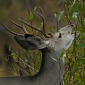 3x3 Buck Mule Deer-signed-#9716 by J L Woody Wooden
