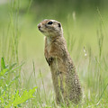 A European Ground Squirrel Standing In A Meadow In Spring by Stefan Rotter
