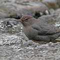American Dipper by Gary Wing