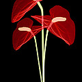 Anthurium Flowers, X-ray by Ted Kinsman