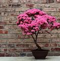 Photograph Of Beautiful Pink Azalea Bonsai In Bloom by Angela Rath