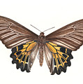 Birdwing Butterfly by Rachel Pedder-Smith